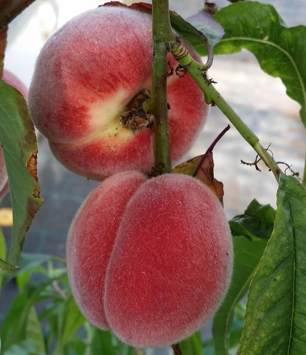 Sydkusten Skåne Gunnebo Trädgård Frukt Bär Odling Skörd spalje havtorn persika äpple