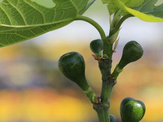 Medelhavsväxter i Skåne