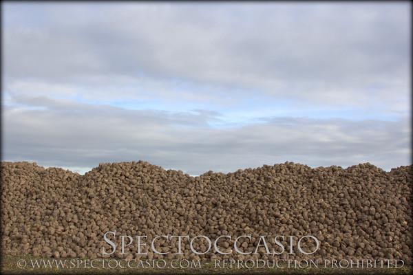 Sydkusten Skåne sockerbetor skörd