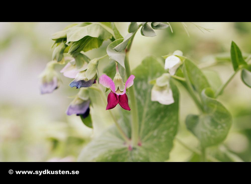 Sydkusten Skåne Little Gardens sallad