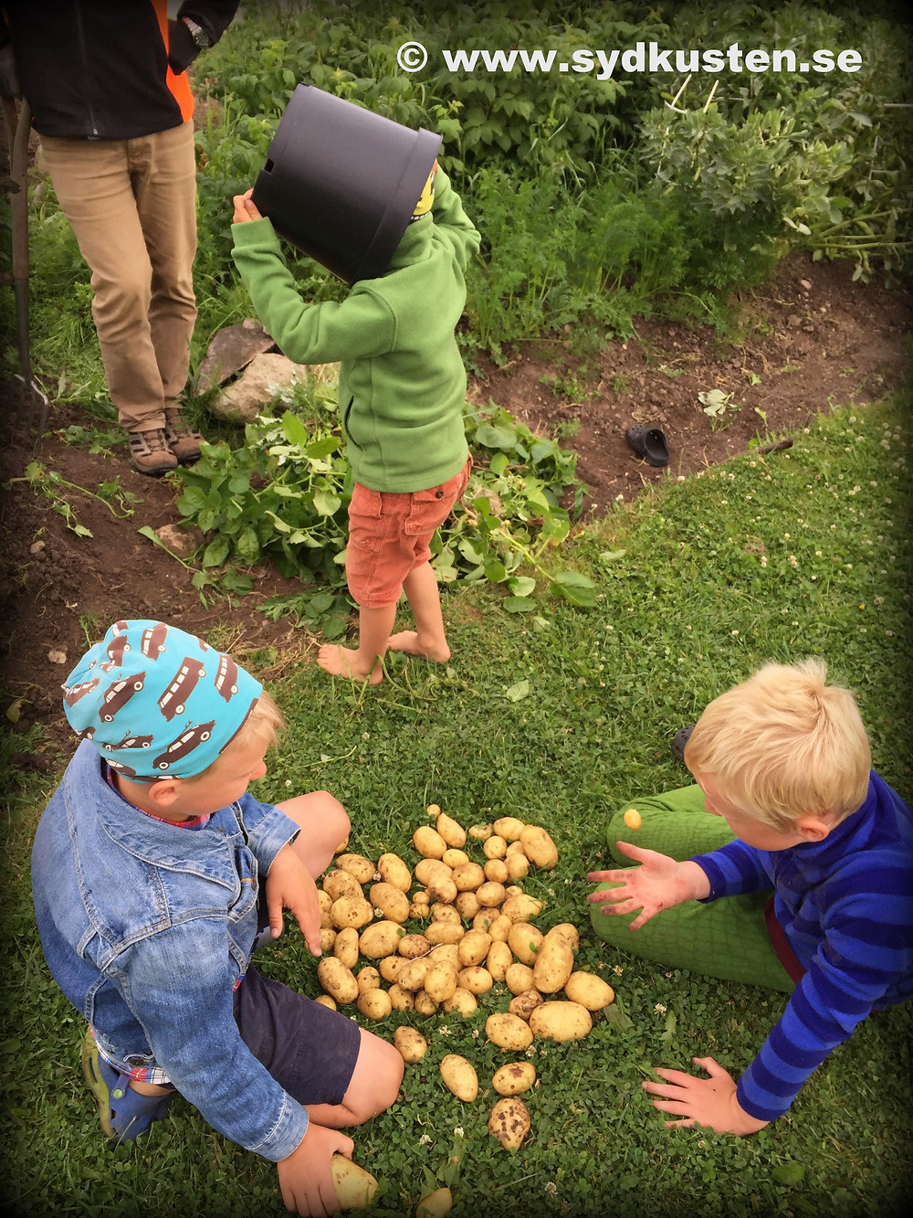 Potatis geranium Gunnebo Garden Skivarp Skåne
