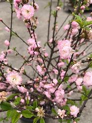 Dbl Flowering Plum2