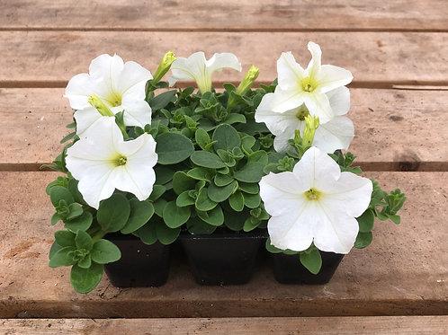 Petunia Hybrid Pretty Flora™