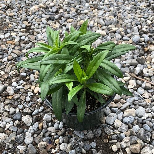 Dianthus barbatus Barbarini™