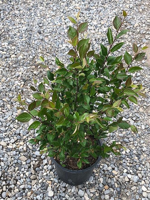 Pecking Hedge Cotoneaster (Cornus sericea)