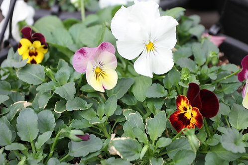 Pansy Wave Hanging Basket