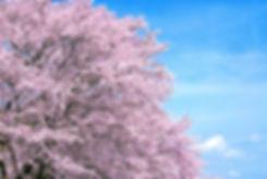 cherry-blossom_00006.jpg