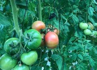 春本番でトマトラッシュになるか?