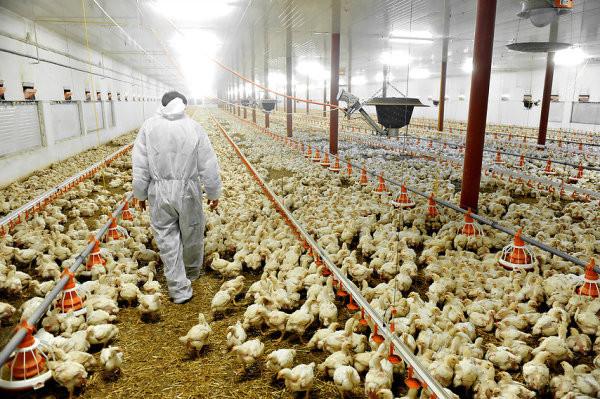 halal frozen Chicken.jpg