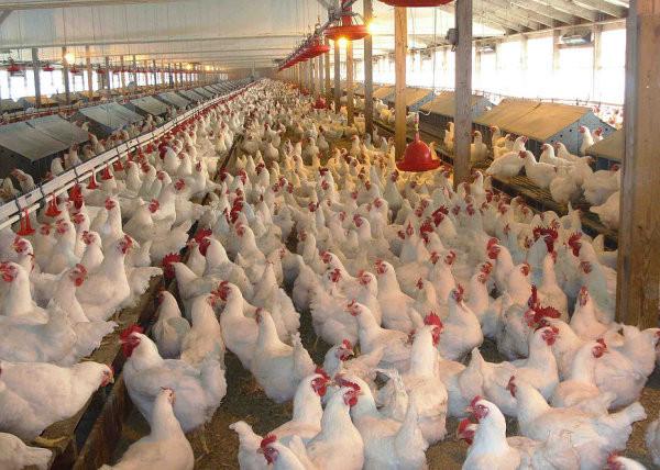 frozen Chicken.jpg