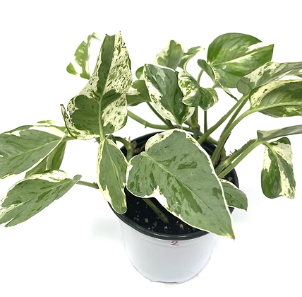 Pearl and Jade Pothos 2