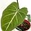 Thumbnail: Philodendron Gloriosum