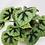 Thumbnail: Begonia Iron Cross (Masoniana)