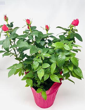 """Pot Rose 02 🥀 (6"""")"""