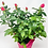 "Thumbnail: Pot Rose 02 🥀 (6"")"
