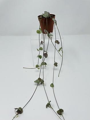 "String of Hearts (2.5"" pot)"