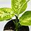 Thumbnail: Deiffenbachia Maculata