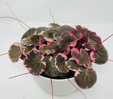 Begonia Strawberry Variegated