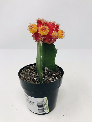 Cactus Moon Grafted - 2 Tone