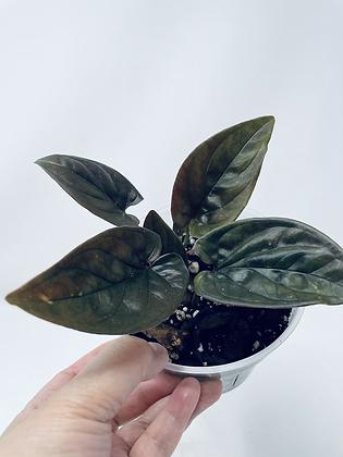 Syngonium Erythrophyllum (Red Arrow)
