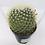 Thumbnail: Mammillaria Pringlei