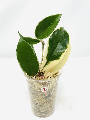 Hoya Carnosa tricolor 1