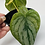 Thumbnail: Philodendron Brandtianum 1