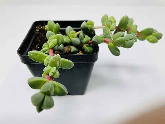 Corpuscularia Taylorii (Ice Plant)