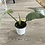 Thumbnail: Philodendron Hastatum - Silver Sword
