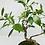 Thumbnail: Bonsai - Golden Gate Ficus