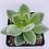 "Thumbnail: Echeveria Estrella (3"" pot)"