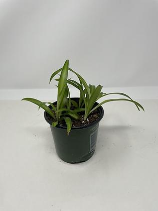 Baby Hawaiin Spider Plant 2