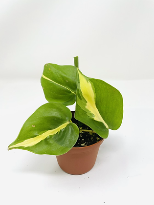 Philodendron Brasil 3