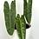 Thumbnail: Philodendron Billietiae