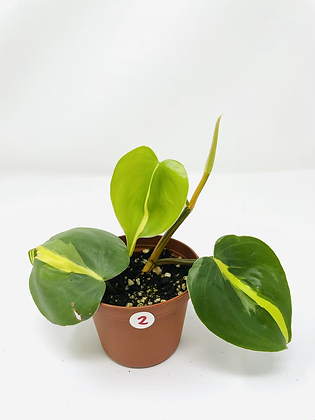 Philodendron Brasil 2