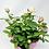 "Thumbnail: Pot Rose 03 🥀 (6"")"