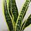 Thumbnail: Variegated Snake Plant
