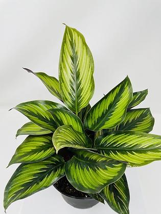 "Calathea Pinstripe 1 (6"" pot)"