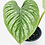 Thumbnail: Philodendron Mamei Silver 1