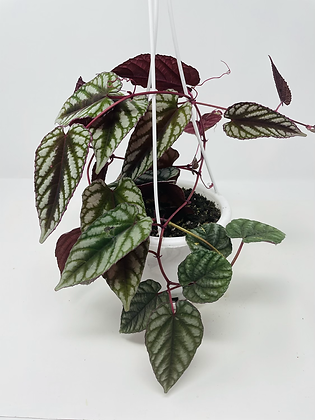 "Cissus Discolor (5"" hanging basket)"