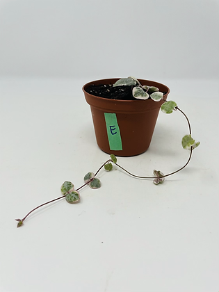 Variegated String of Hearts (E)