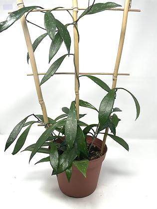 "Hoya Pubicalyx Speckled (6"" pot)"