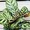 "Thumbnail: Calathea Peacock 1 (6"" pot )"
