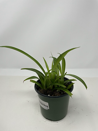 Baby Hawaiin Spider Plant 1
