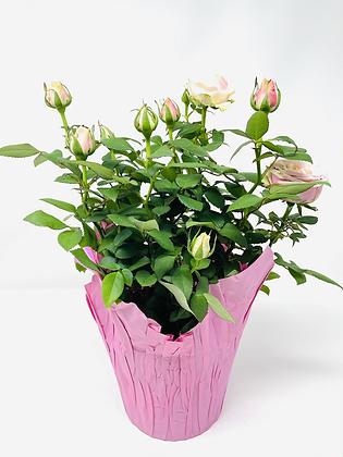 """Pot Rose 03 🥀 (6"""")"""