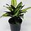 "Thumbnail: Calathea Pinstripe 1 (6"" pot)"