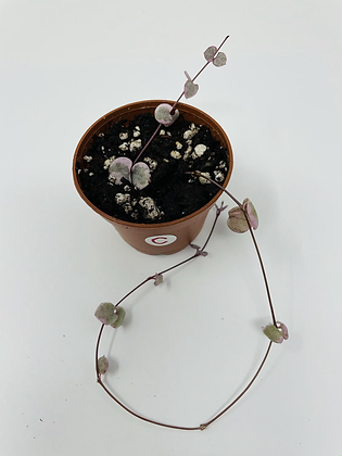 Variegated String of Hearts (C)