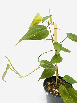Philodendron Micans 3
