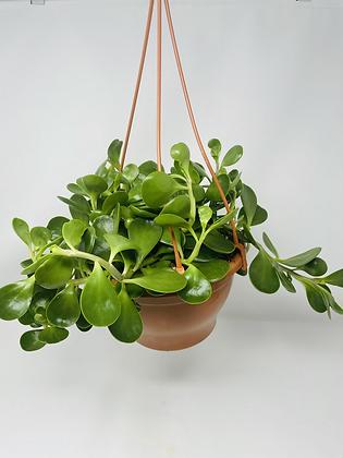 Trailing Jade - Hanging Basket