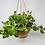 Thumbnail: Trailing Jade - Hanging Basket